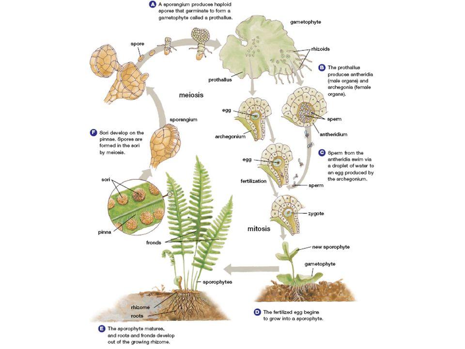 Plants Characteristics Eukaryotic Multicellular Photosynthetic