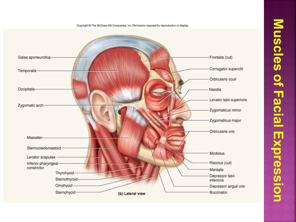 Muscles of facial expression.  Muscles of mastication.  Muscles ...