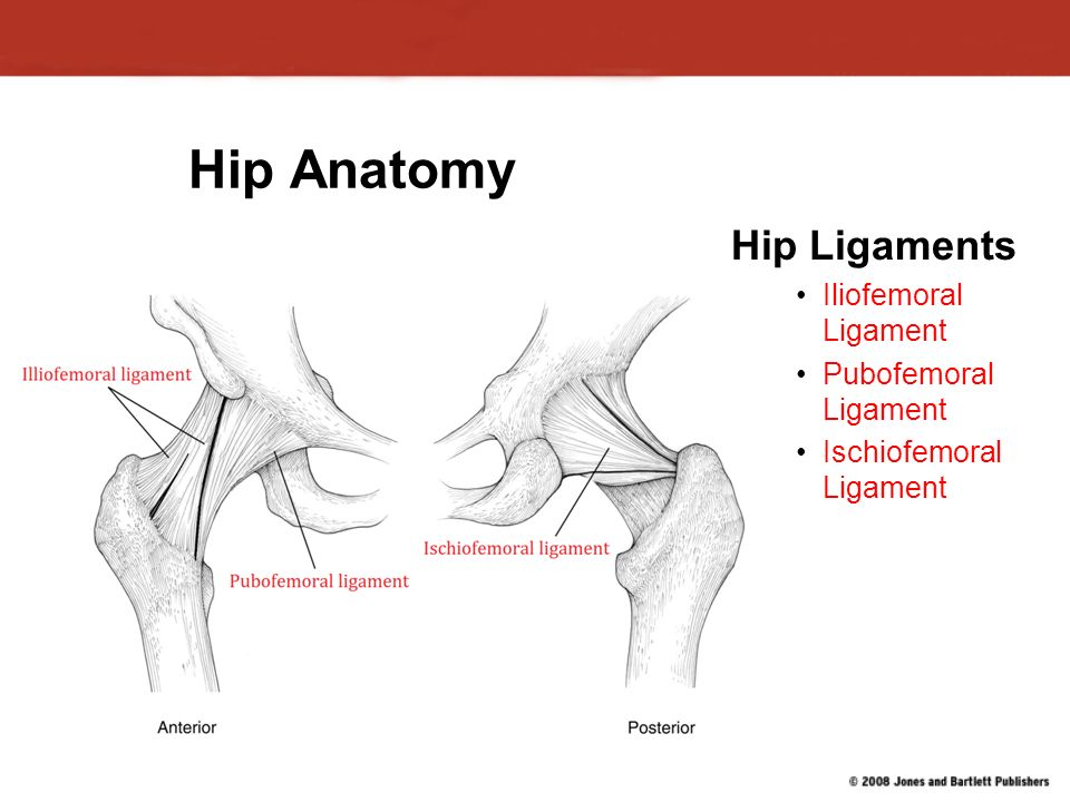 Chapter 14 Injuries To The Hip And Pelvis Hip Anatomy Primary Hip
