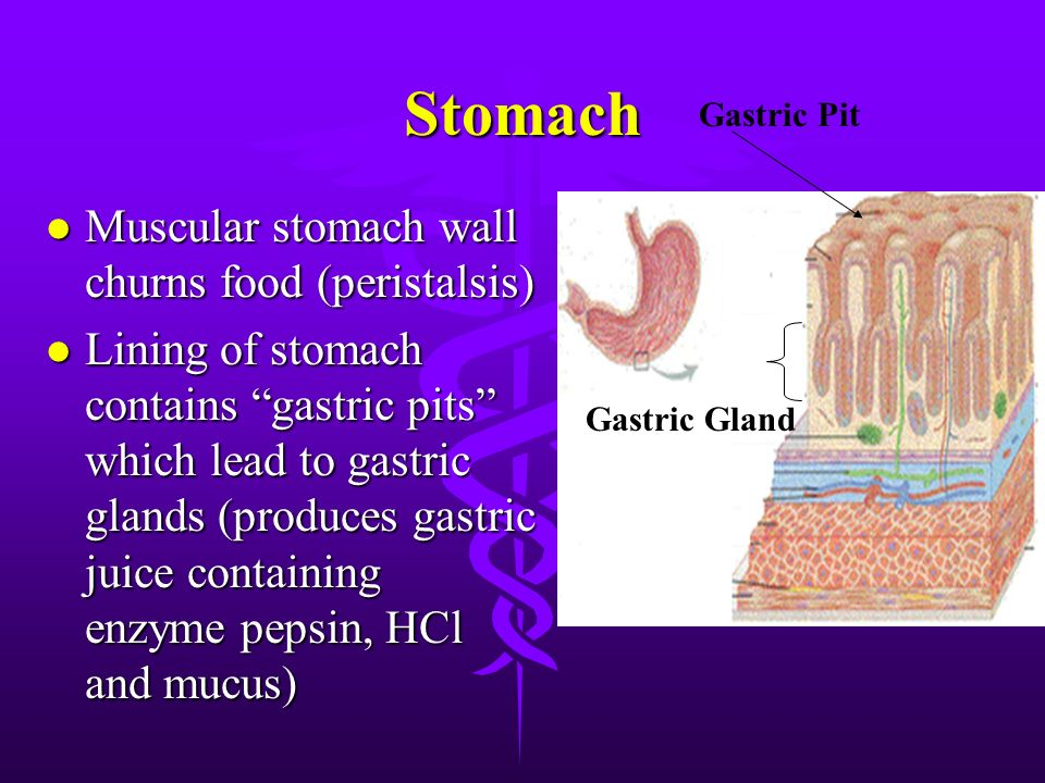Digestive System The System In Brief Food Enters Via The Mouth