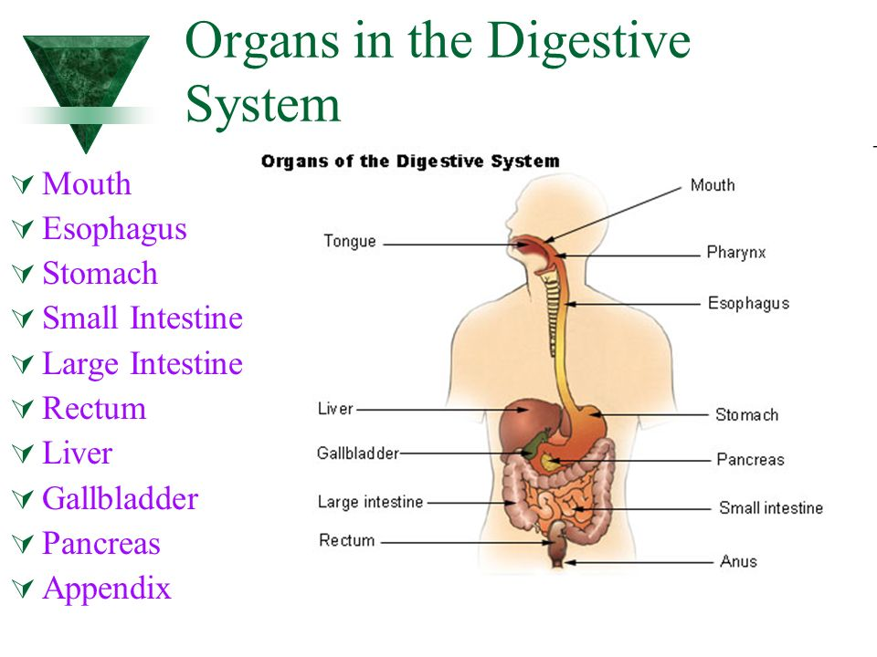 Digestive System Primary Function Of Digestive System Used To