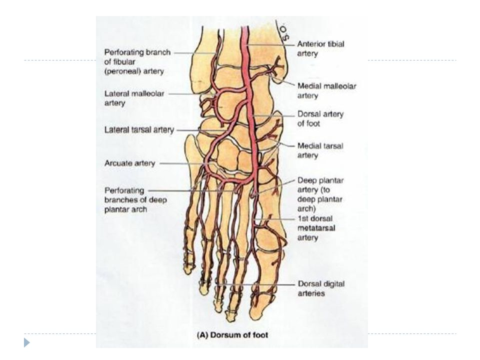Blood supply of the leg and foot WINDSOR UNIVERISITY SCHOOL OF ...