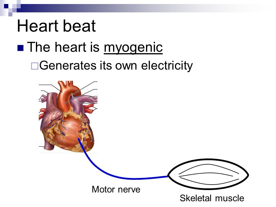 myogenic heart beat