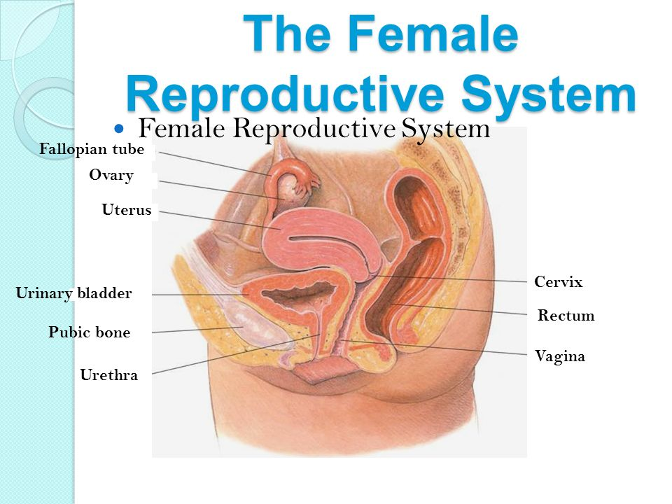 The Reproductive System Advanced Human Anatomy. Wednesday (5/6 ...