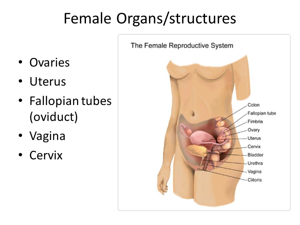 Reproductive System Female Organsstructures Ovaries Uterus