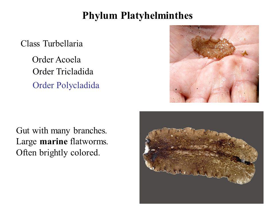 acoela platyhelminthes