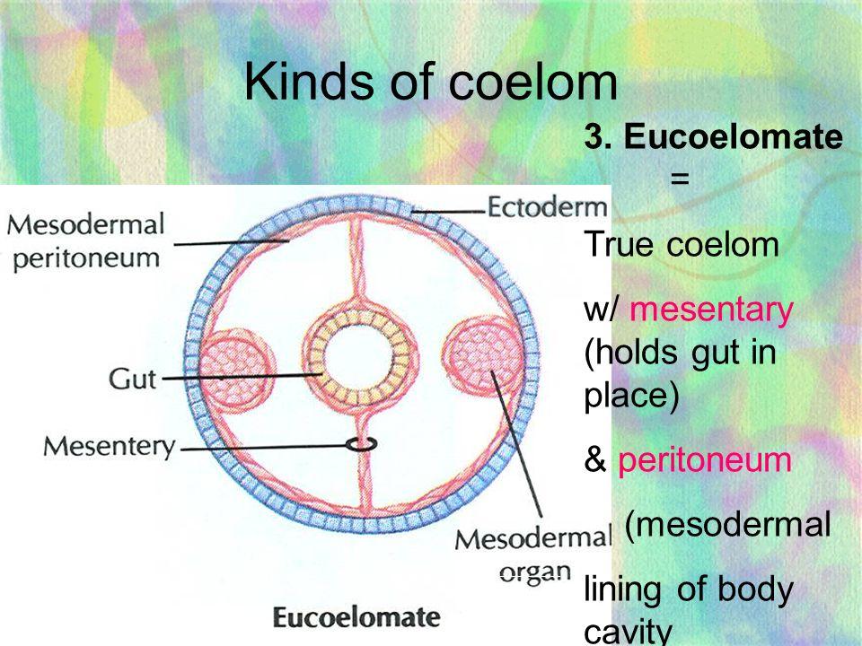 phylum platyhelminthes típusú coelom