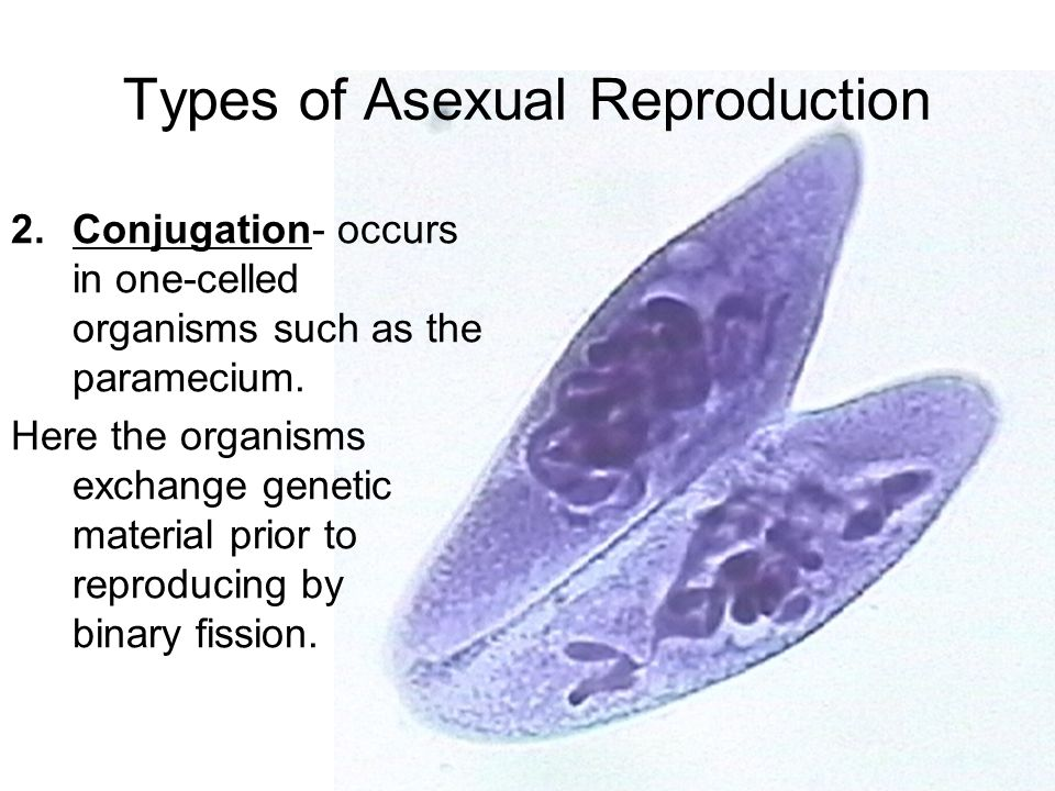 Paramecium asexual reproduction process