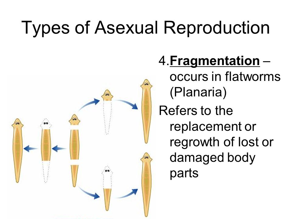 Planarian asexual reproduction examples