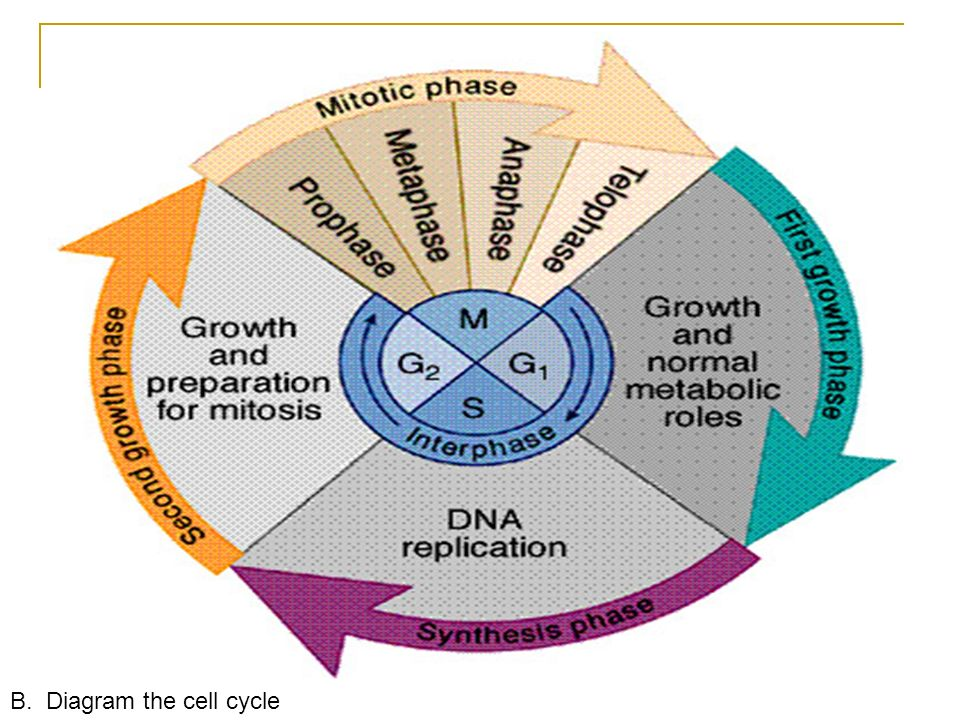 Cell growth and reproduction mitosis objectives a list the 9 the cell cycle a quick review interphase g1cell is growing s dna replicates g2 prepares for division mitosis prophase metaphase ccuart Image collections