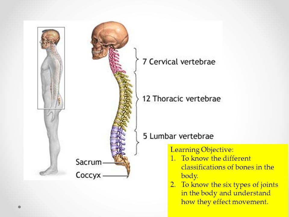 Skeletal System Learning Objective 1 Know The Different