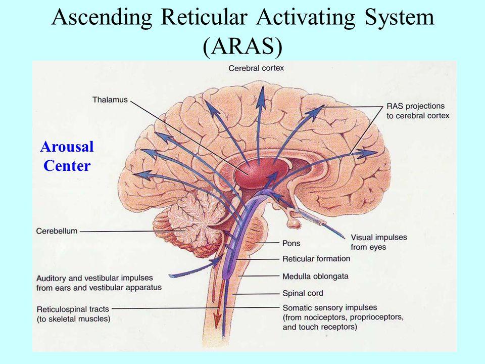 Neuroanatomy Brain Organization Spinal Cord Anatomy Dorsal Ventral
