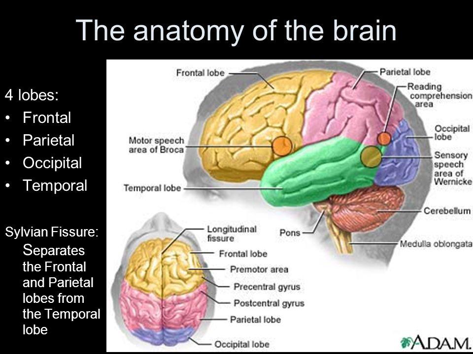 Brain And Language Separating The Two Hemispheres Commisurotomy