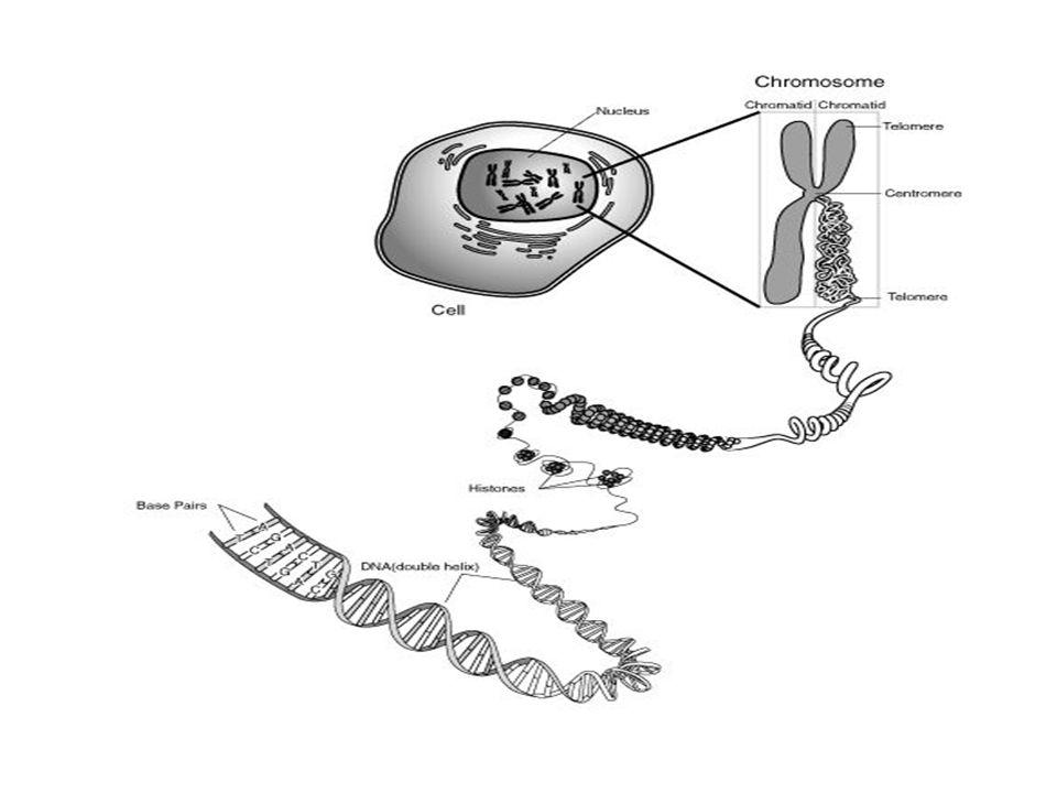 Dna Types Division On The Basis Of Position Chromosomal Dna Present
