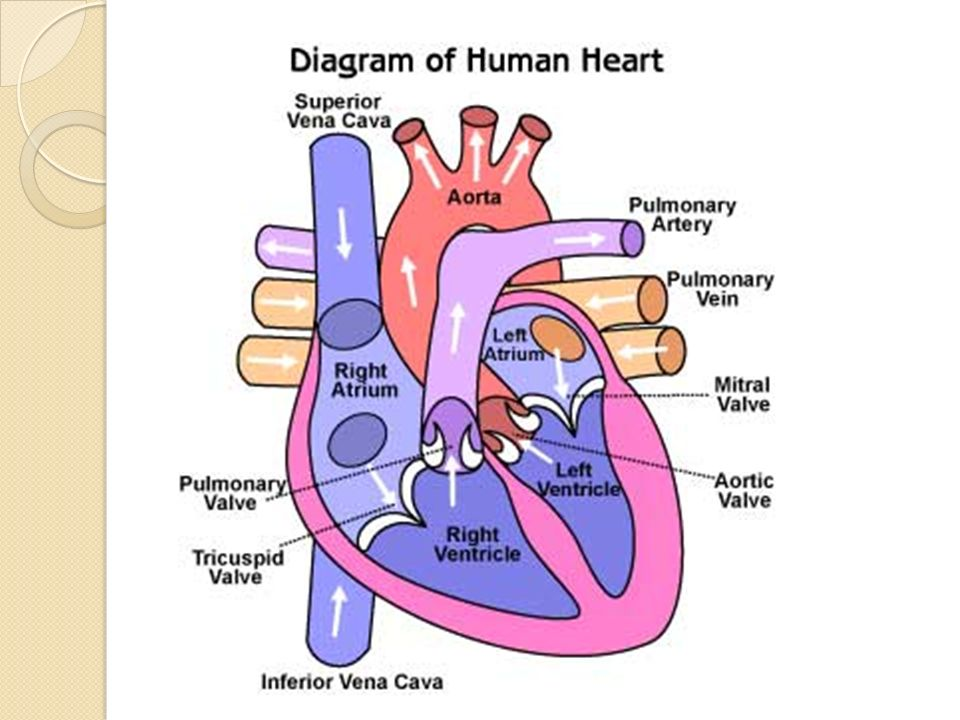The Circulatory System: Parts of the Heart Human Bio ppt download
