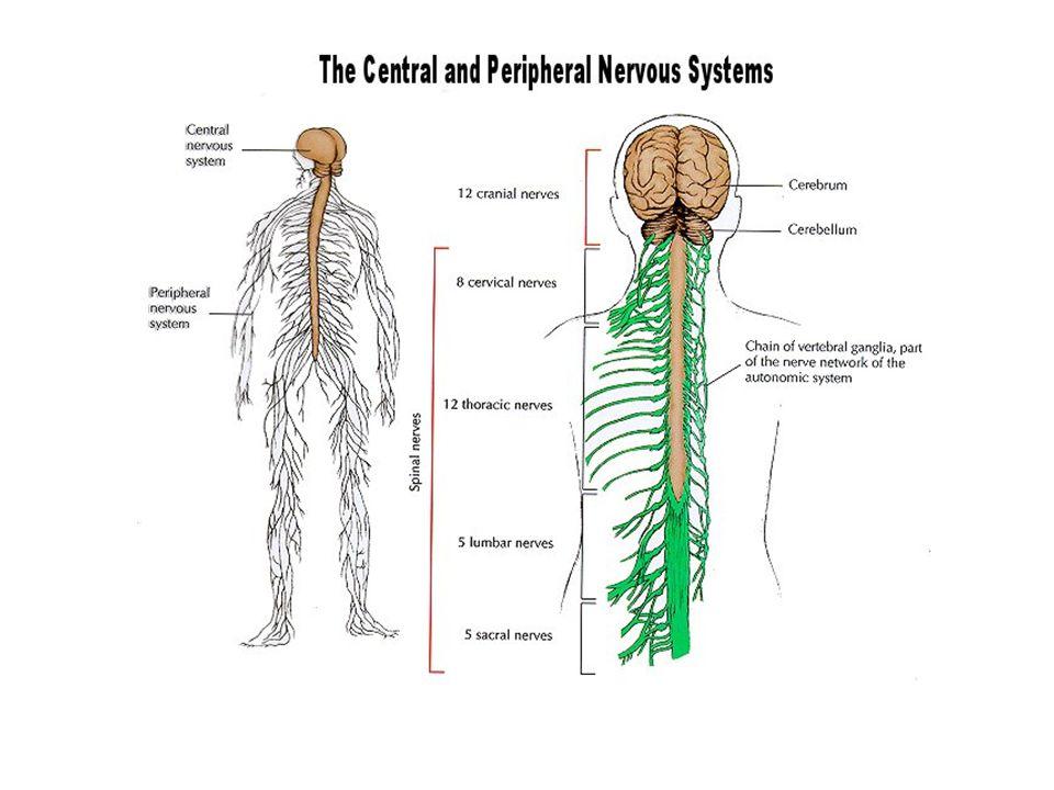 Regents Biology The Nervous System Overview The Nervous System