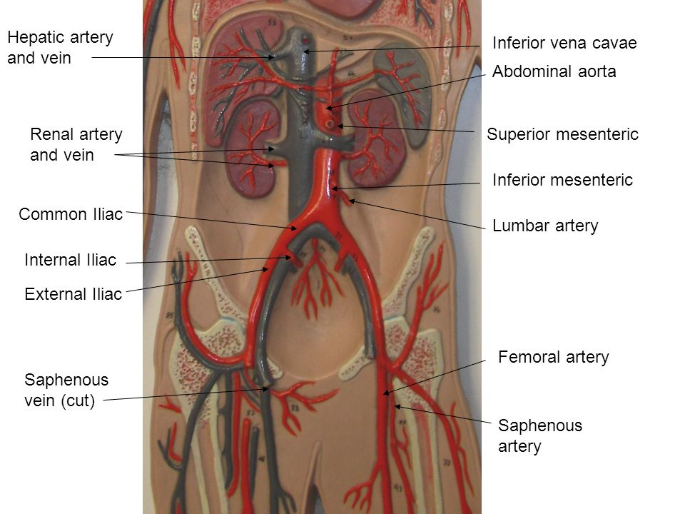 Deep Femoral Artery Cat Diagram - Wiring Diagram For Light Switch •