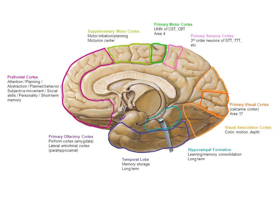 Motor cortex brain diagram amygdala diy enthusiasts wiring diagrams cortical functional areas frontal lobe executive initiates motor rh slideplayer com cerebral cortex math brain diagram ccuart Gallery