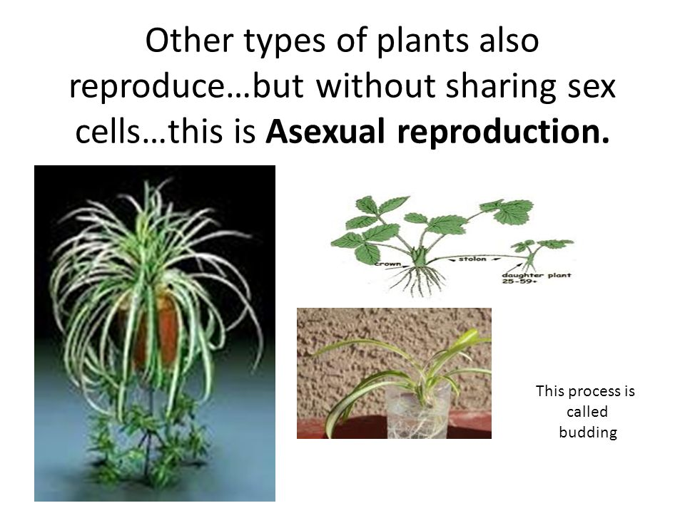 Plant reproduction…can be either sexual or asexual…depending