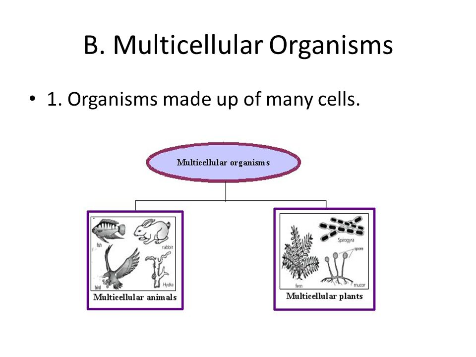 unicellular organism essay Bacteria are single-celled micro-organisms without a nucleus and a cellular membrane that is made up by protein-sugar molecules they are a part of the prokaryote kingdom.