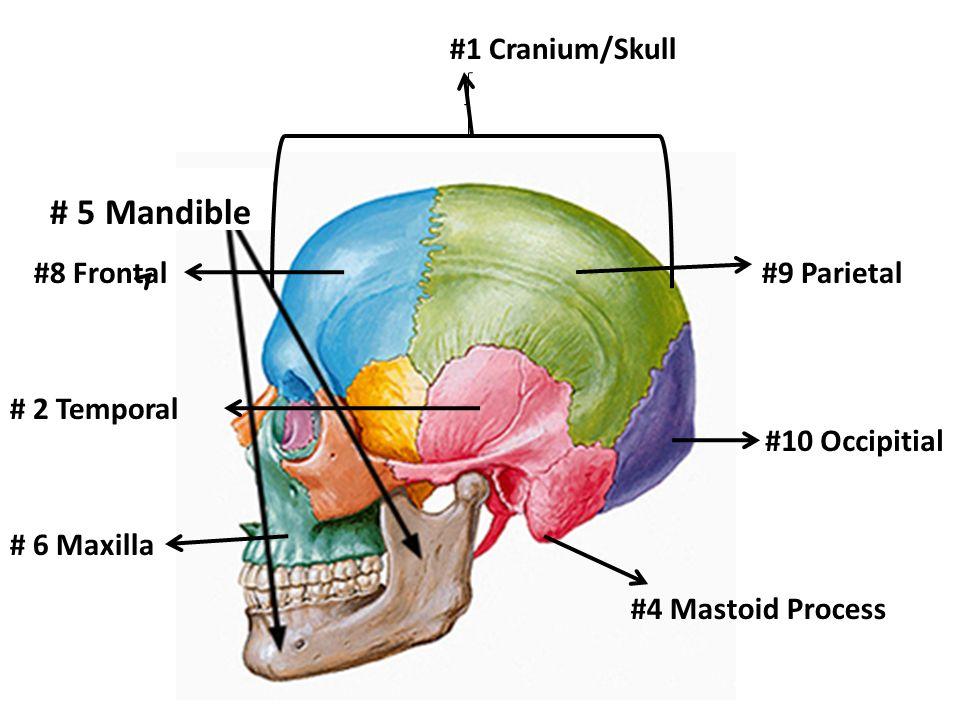 BONES…BONES…BONES! Study Guide for Health Bone Quiz. - ppt download