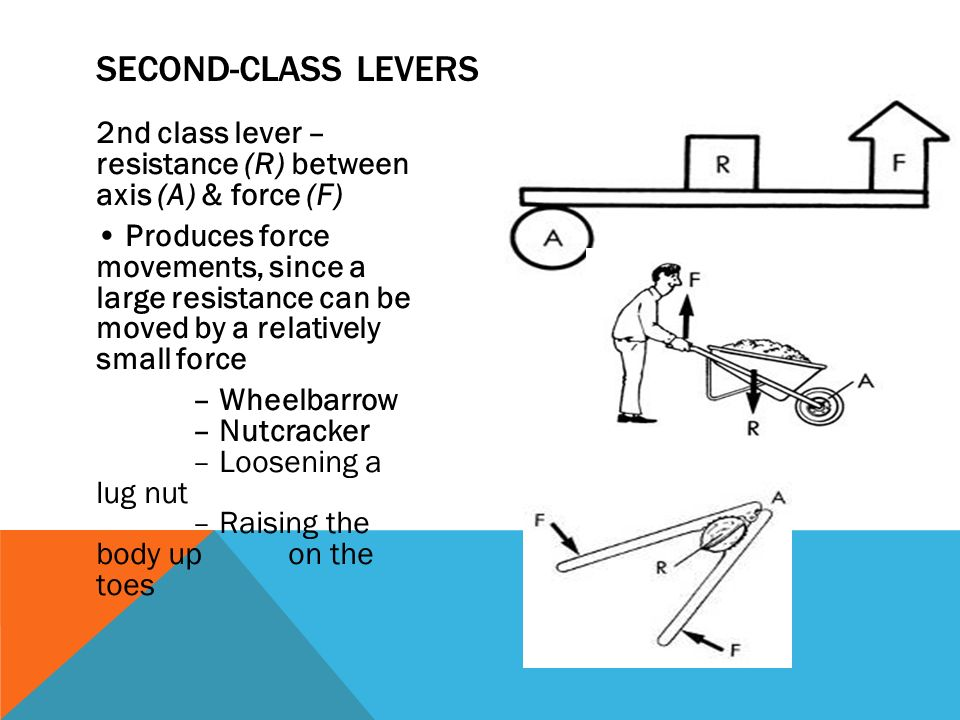 Leave It To Lever Types Of Machines Found In The Body Muscular