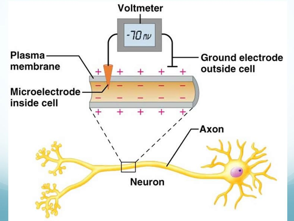 what are the important ions for most neurons when considering changes in membrane potential The increased potassium ion permeability lasts slightly longer than the time required to bring the membrane potential back to its resting level after the passage of the action potential, the sodium-potassium pump reestablishes the resting membrane potential t/f.