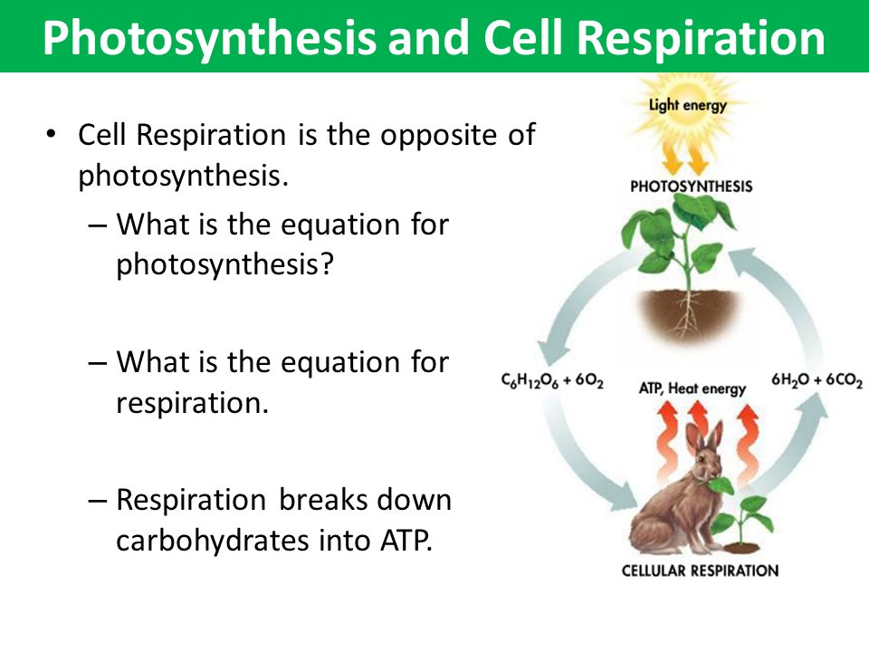 photosynthesis cellular respiration lab Lab: investigating photosynthesis and cellular respiration background: all organisms are dependent on a healthy carbon dioxide-oxygen balance photosynthesis and cellular respiration are key processes in maintaining this balance plants, through the process of photosynthesis, use.