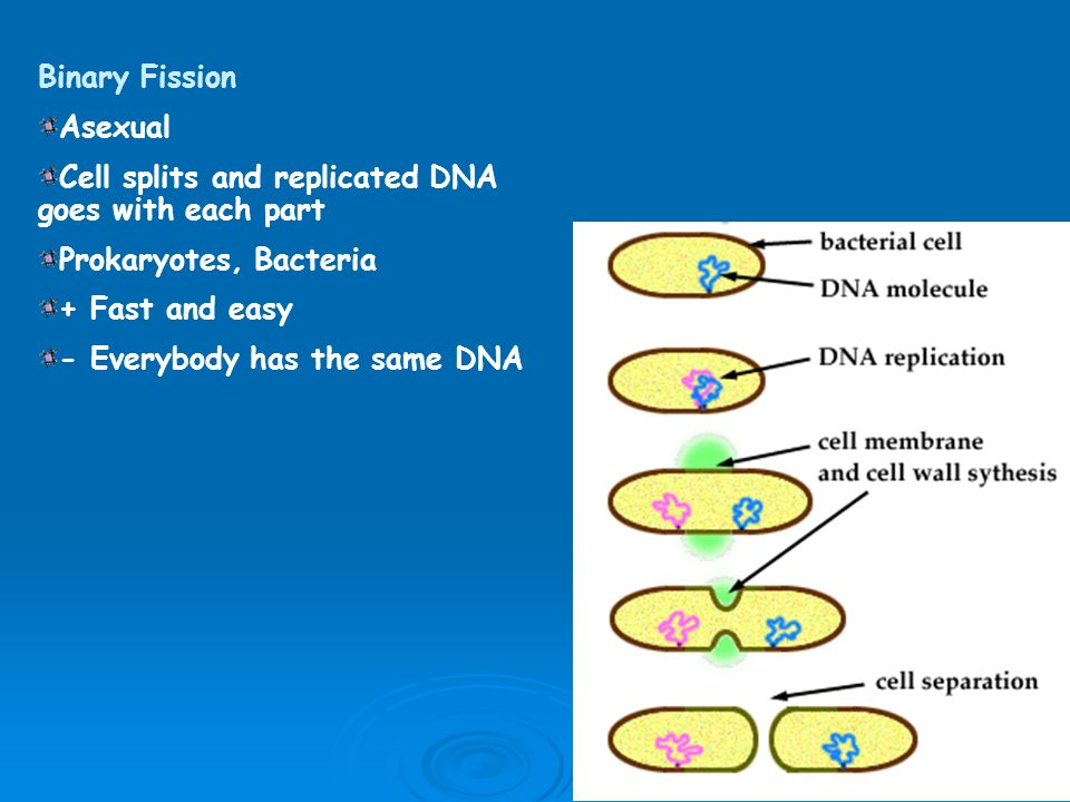 Gemmulation asexual reproduction in bacteria
