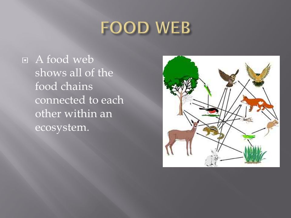  A food web shows all of the food chains connected to each other within an ecosystem.