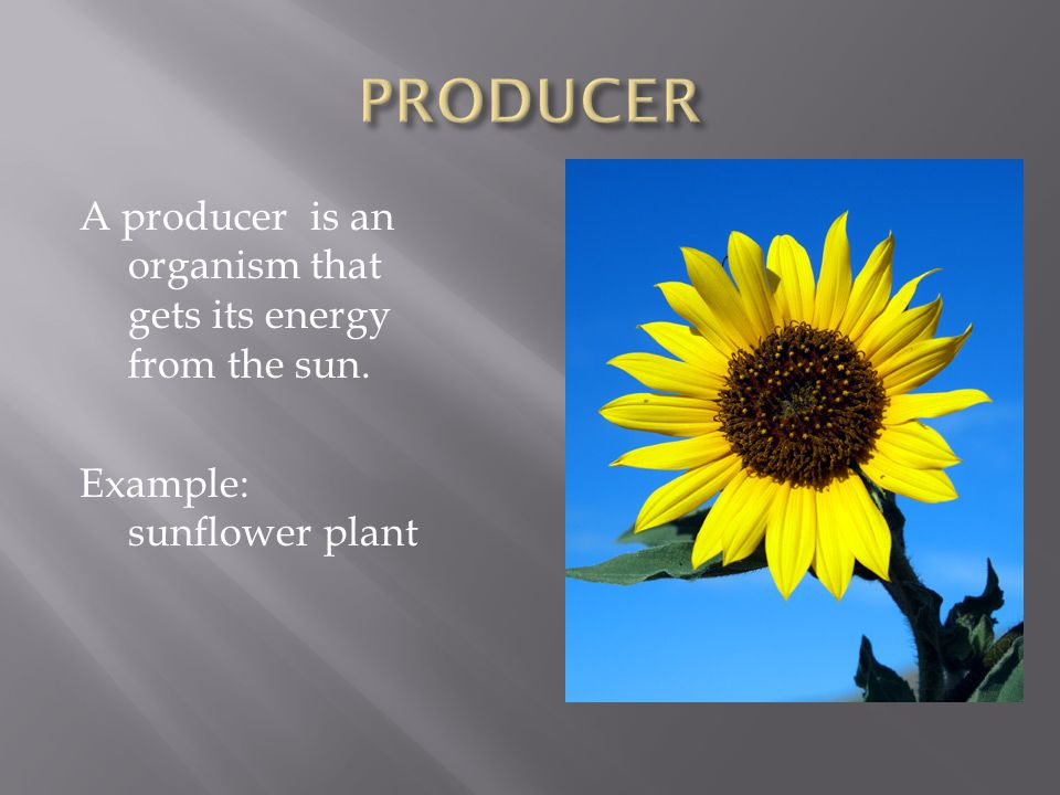 A producer is an organism that gets its energy from the sun. Example: sunflower plant