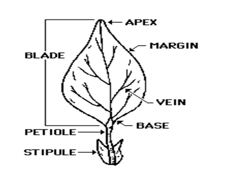 Parts Of The Plant Roots Stems Leaves Roots Are Plant Organs