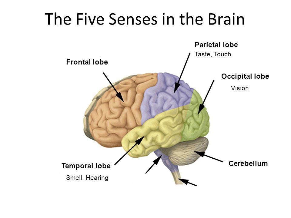 Seeinghearing speakingthinking PET Scans. Frontal Temporal Parietal ...