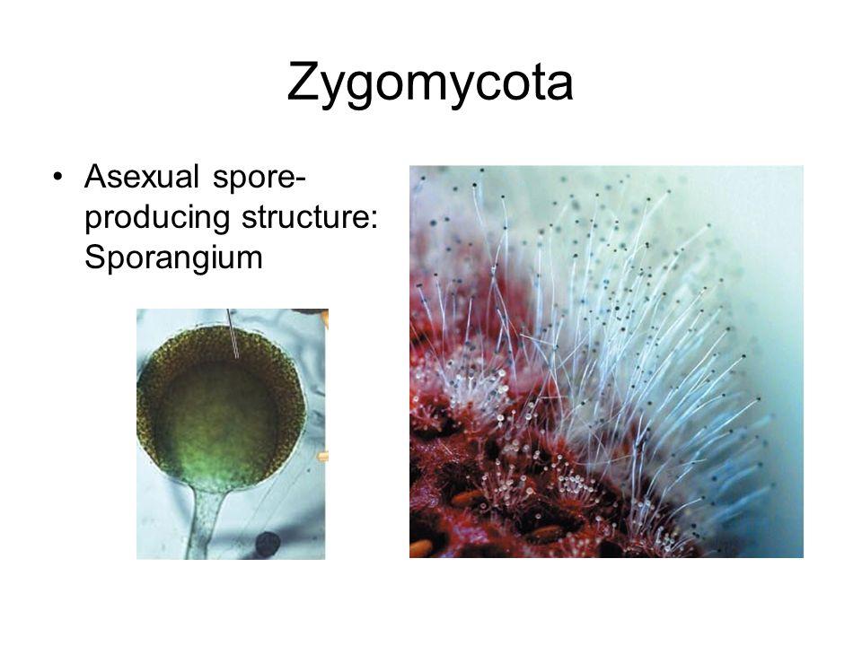Zygomycota asexual spores