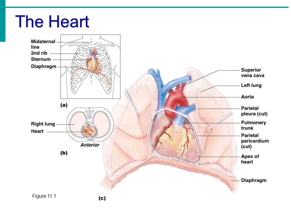 Essentials of Human Anatomy & Physiology Elaine N. Marieb Chapter 11 ...