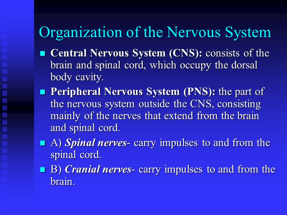 Anatomy Physiology The Nervous System Organization Of The