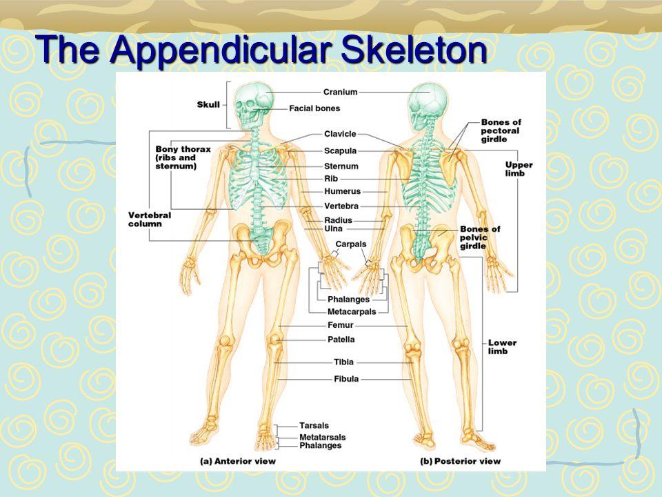 chapter 5 the skeletal system appendicular skeleton ppt download