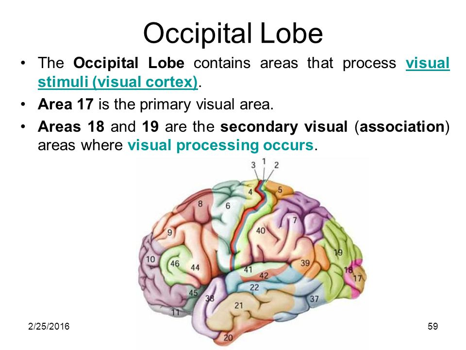 Brain diagram area 17 trusted wiring diagram central nervous system 1g lufukuja2 25 2016 nervous system divided rh slideplayer com middle brain diagram areas of the brain and their functions ccuart Images