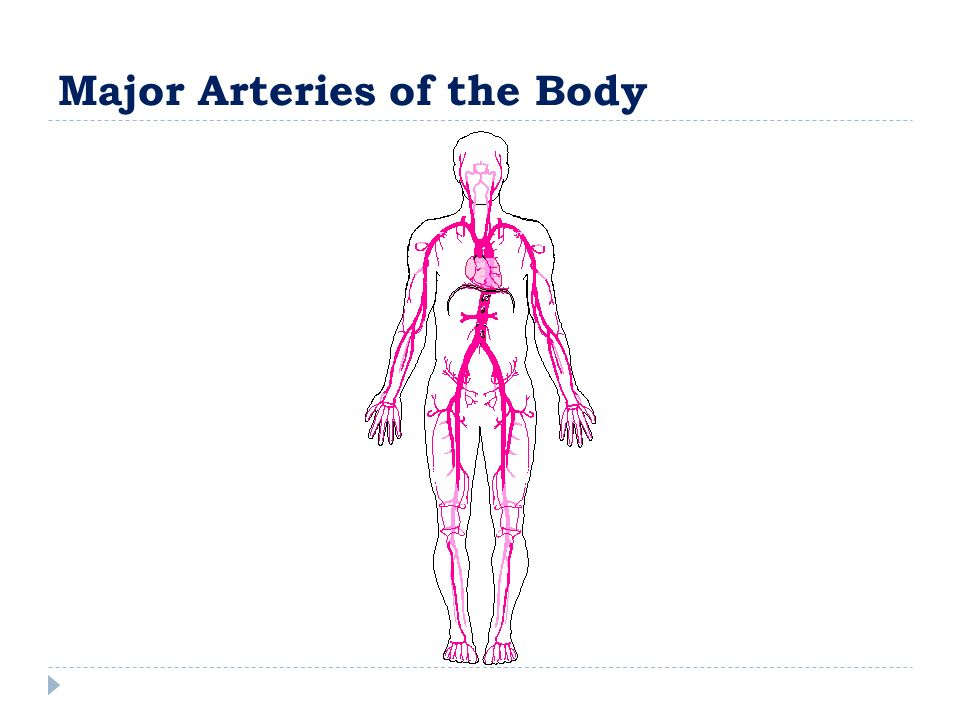 Radiographic Physiology Cardiovascular System Arteries And Veins