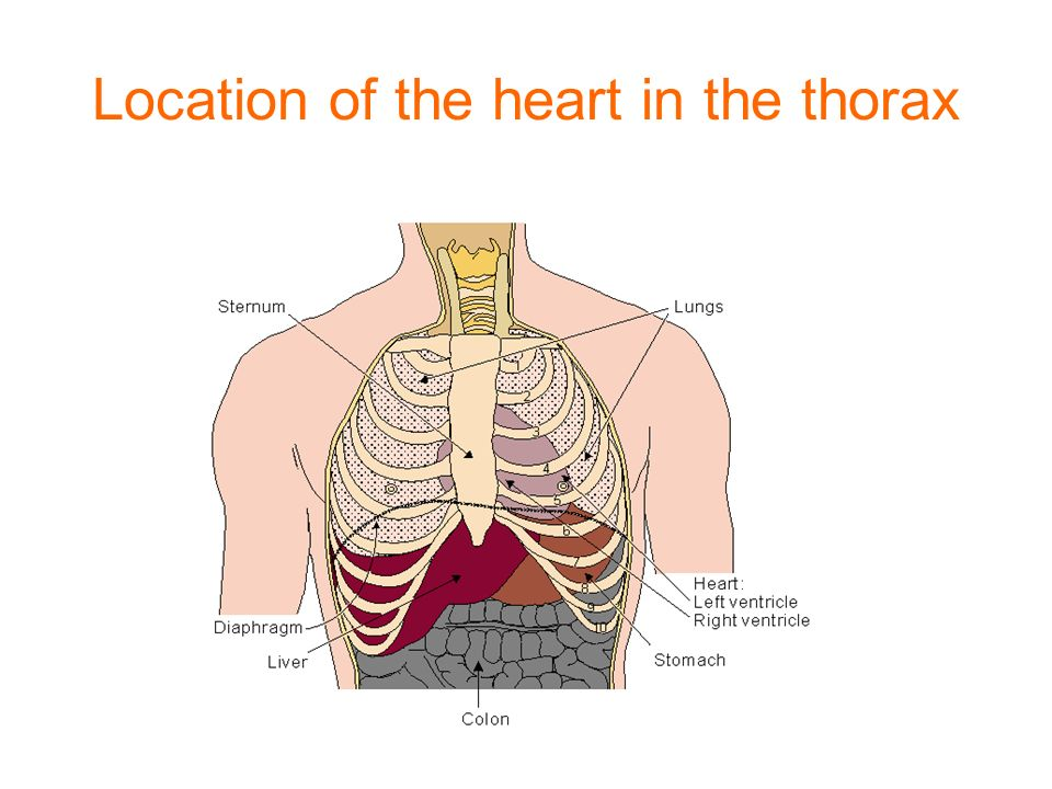 The Heart Dr Isazadehfar Location Of The Heart The Heart Is
