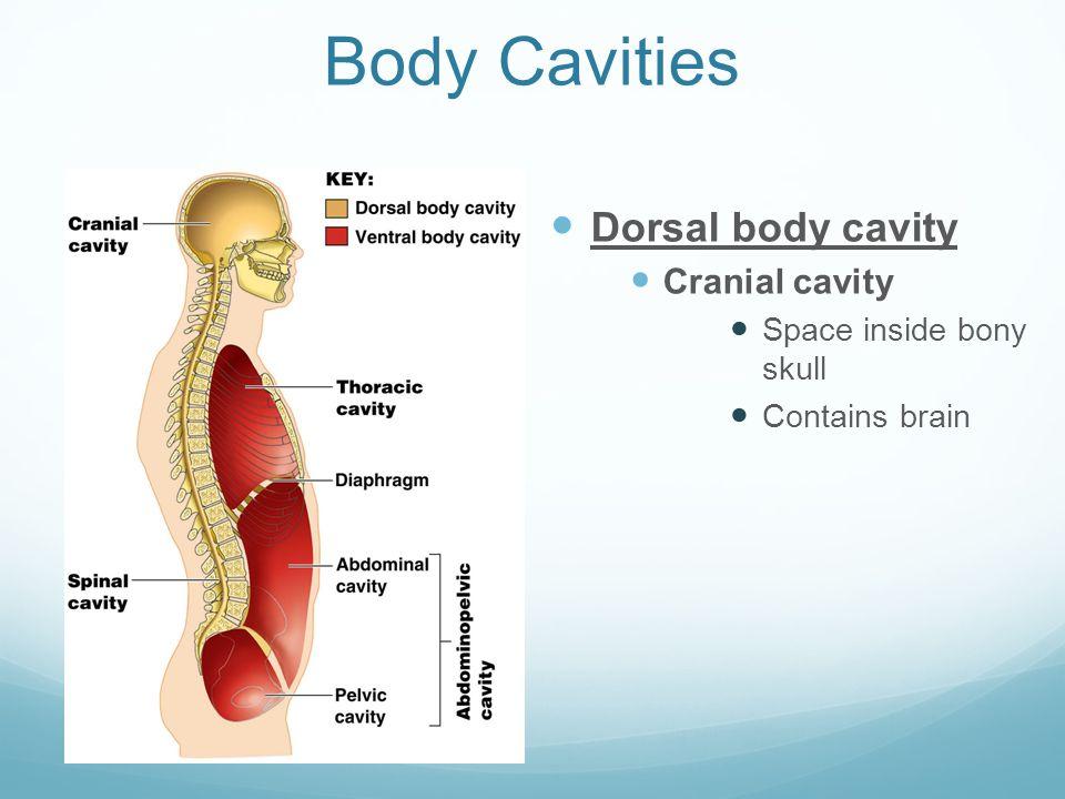Body Cavities Dorsal Body Cavity Cranial Cavity Space Inside Bony