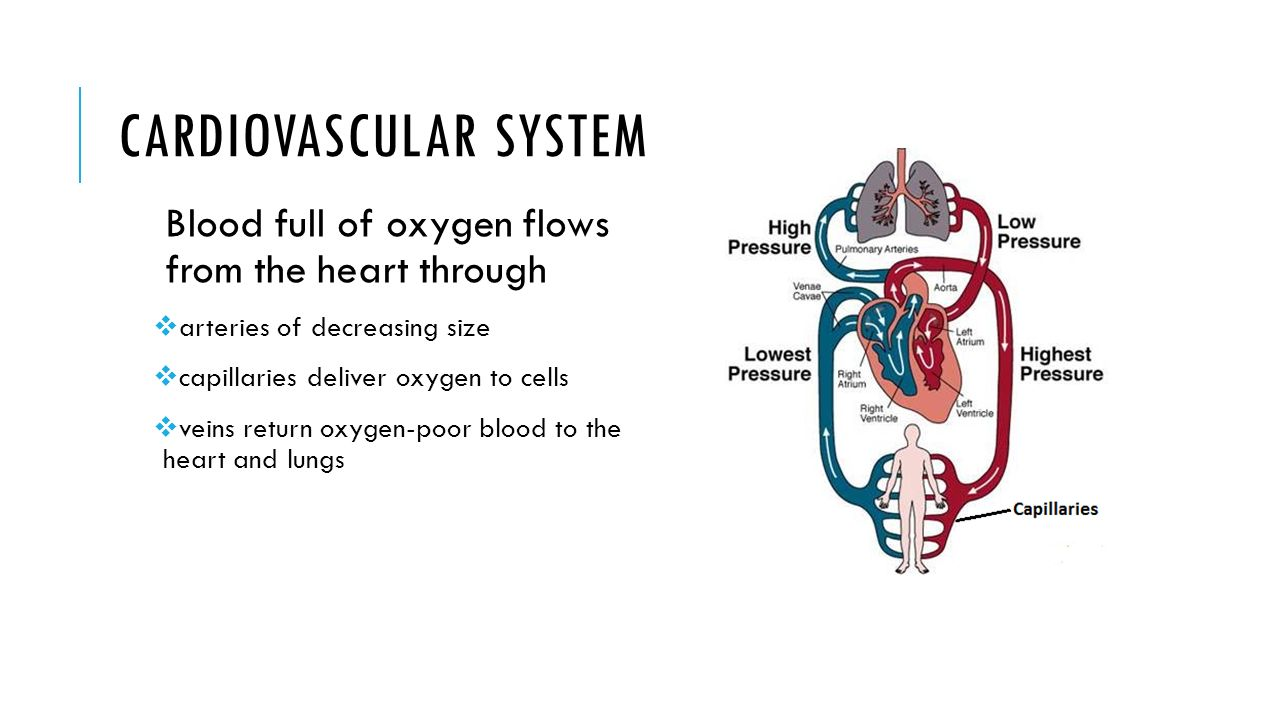 Cardiovascular System Sc912l Describe The Factors Affecting Blood