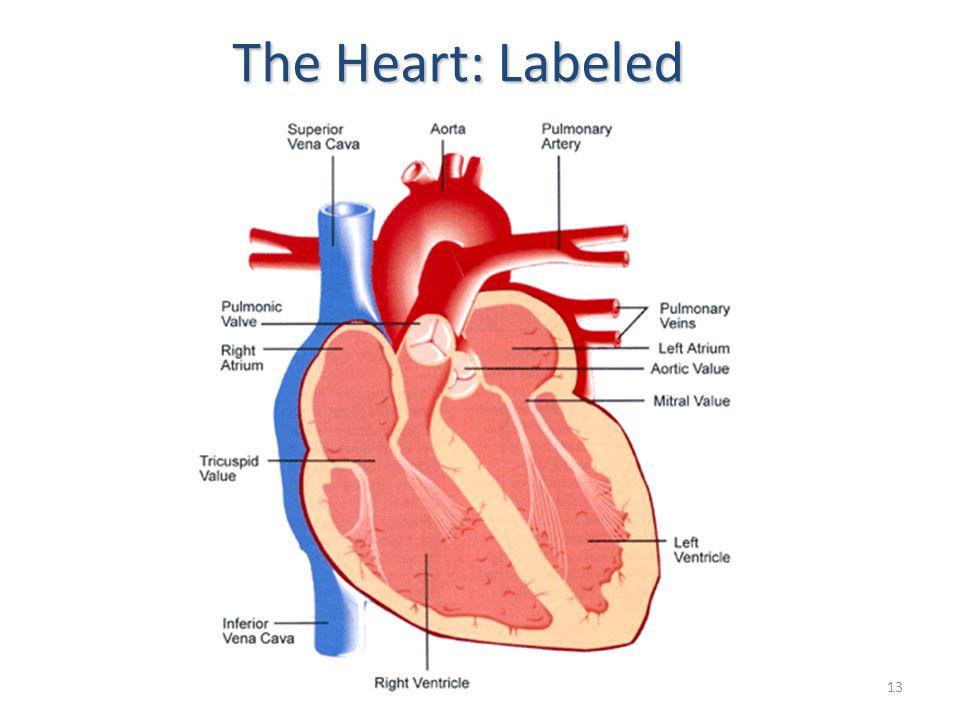 1 Human Heart Circulatory System 6 Th Grade Health Mr Springer