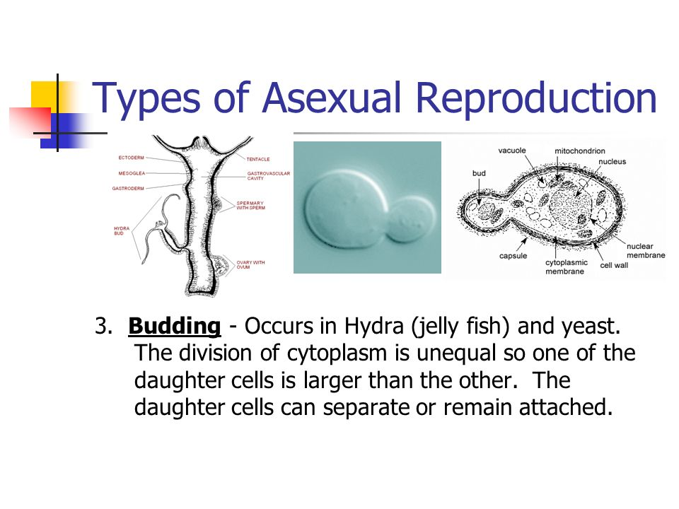2 methods of asexual reproduction in hydra-shok