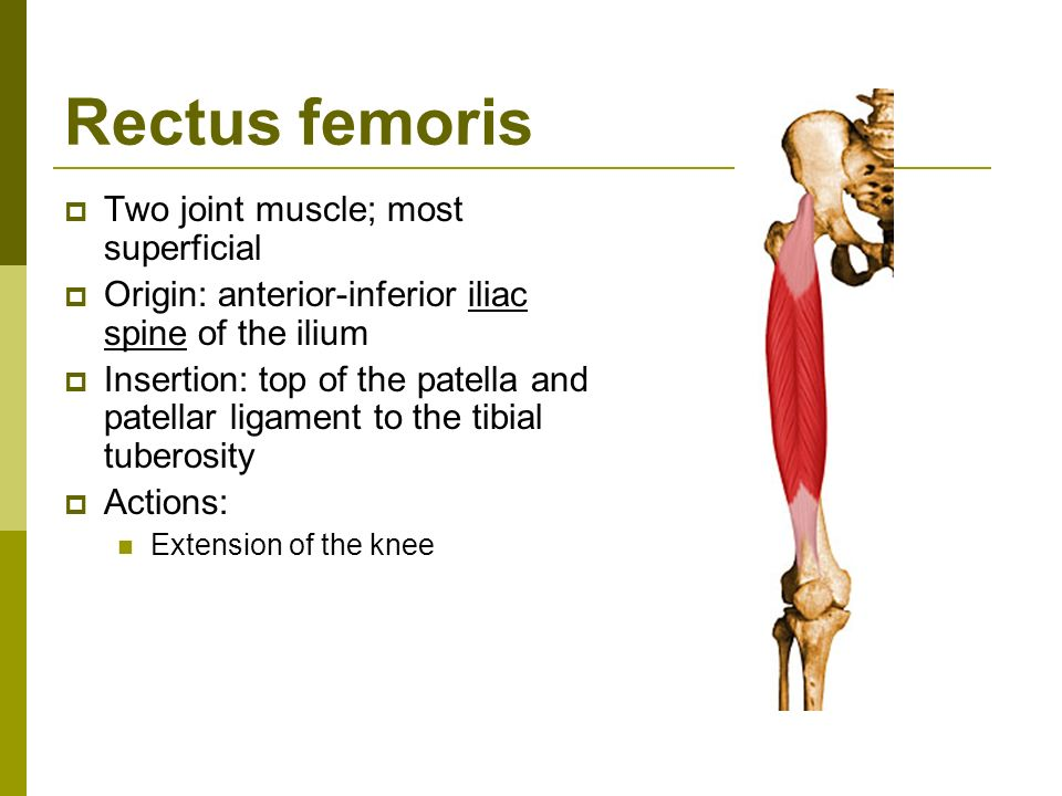 The Knee Joint Muscles That Act On The Knee Muscles Of The Knee