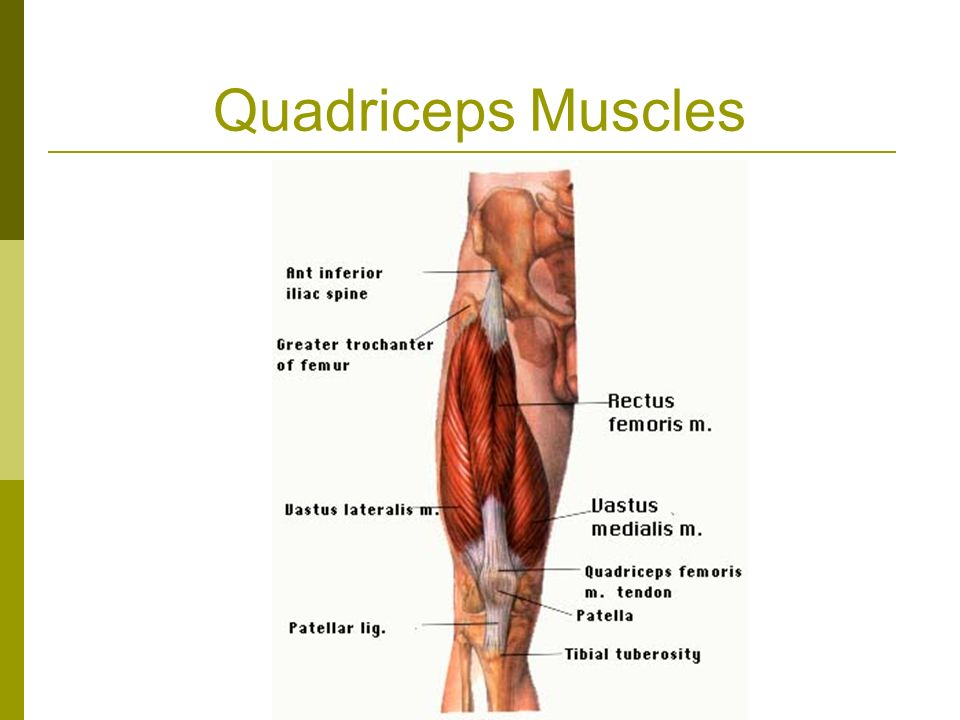 THE KNEE JOINT Muscles That Act On The Knee. Muscles of the Knee ...