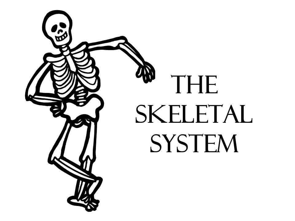 The Skeletal System Human Skeleton Purpose Of Bones Determines