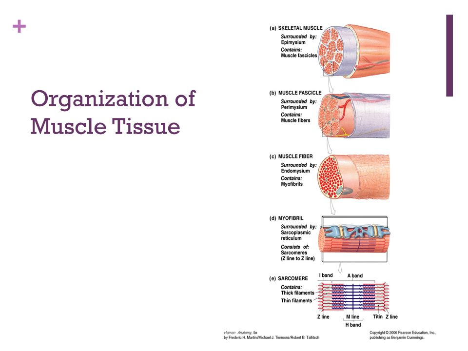 Muscular System Muscle Tissue The Job Of Muscle Tissue Is