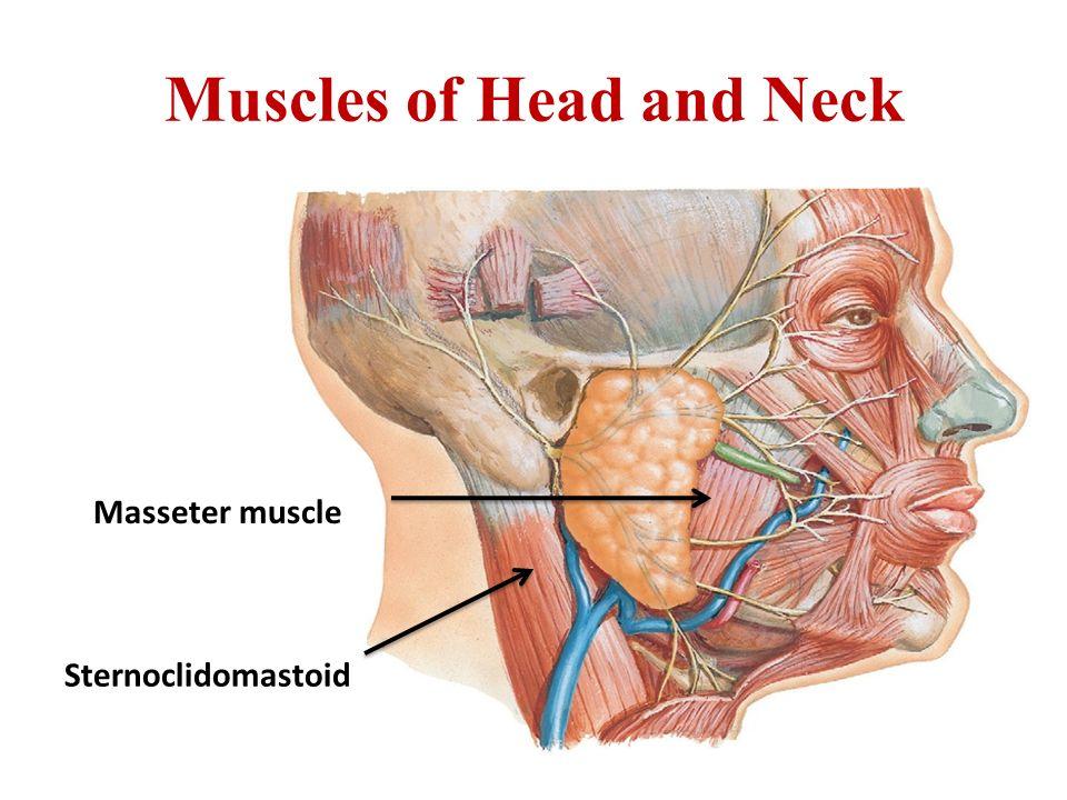 Muscular System Hawler Medical University College Of Medicine