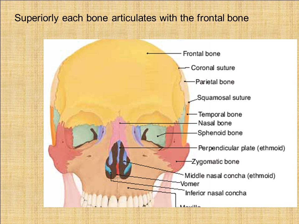 The Bridge Of The Nose Superiorly Each Bone Articulates With The